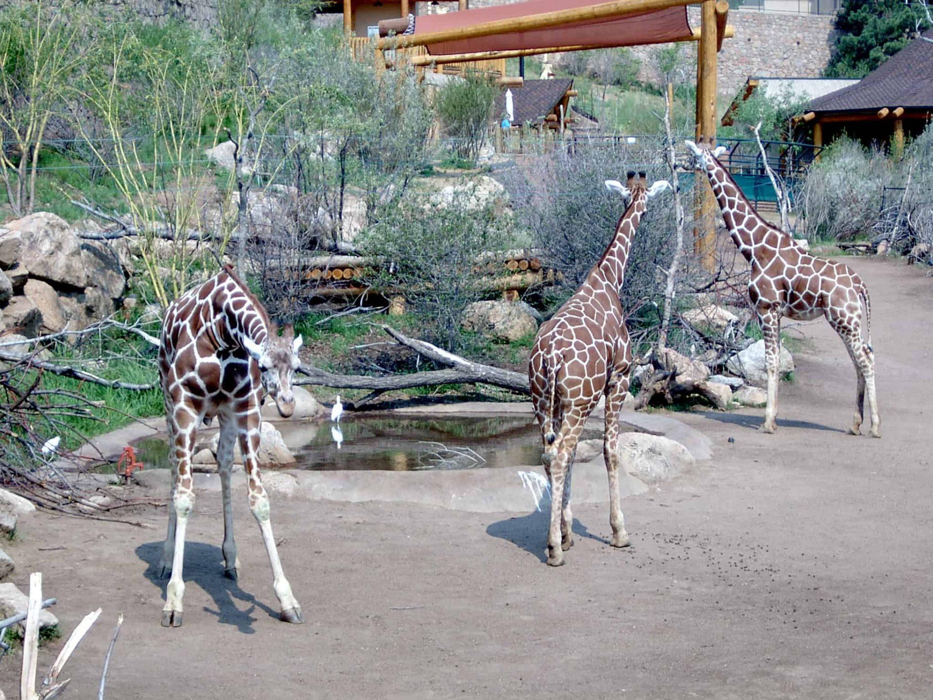 Giraffe Webcam