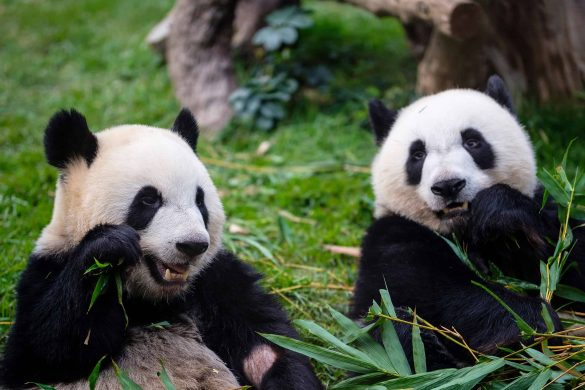 Panda Webcam