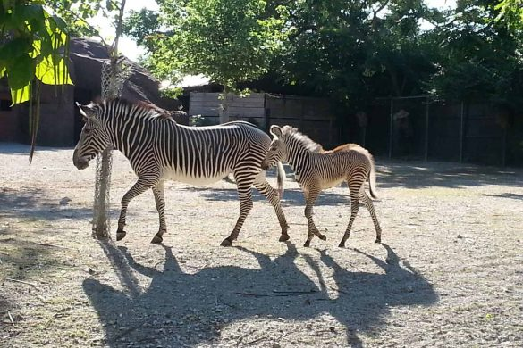 Saint Louis Zoo Webcam
