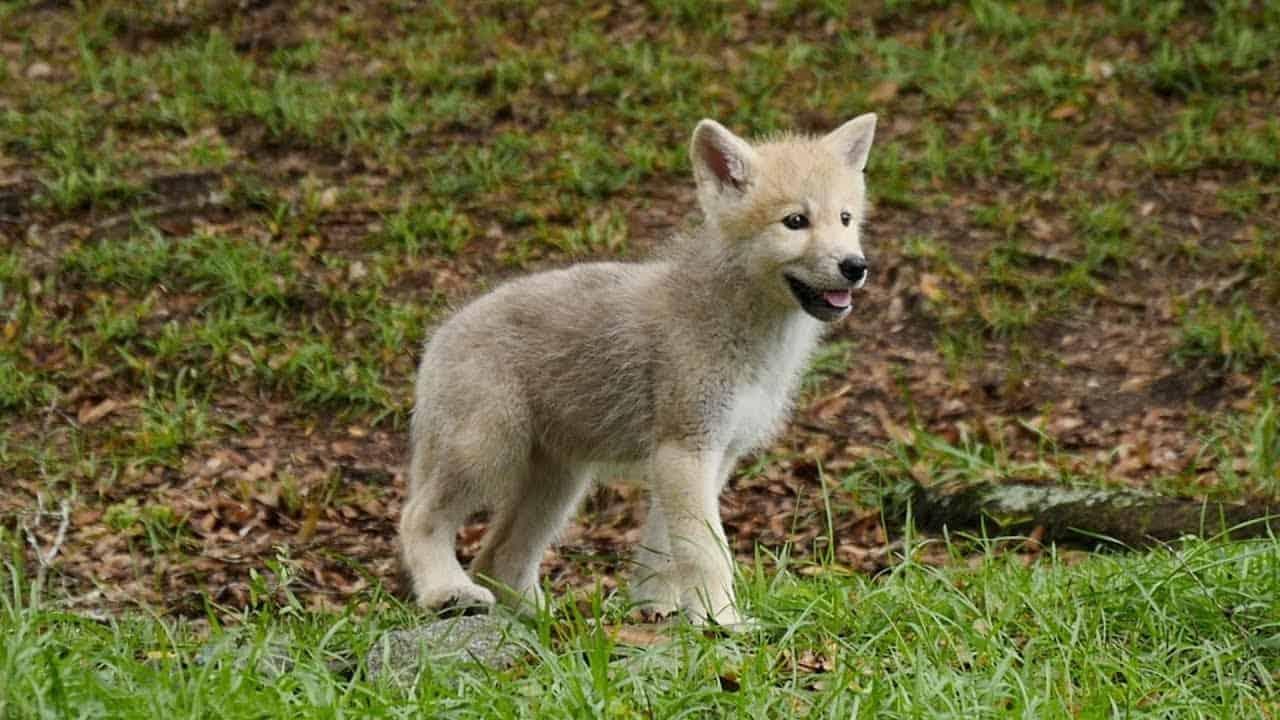 Wolf Webcam